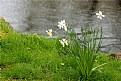 Picture Title - Delicate Daffodils