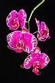 Picture Title - Phalaenopsis OX Firebird
