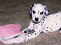 Picture Title - Dalmation Pup