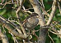 Picture Title - Sparrow In A Tree
