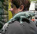 Picture Title - Blue Iguana