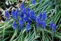 Picture Title - Grape Hyacinths