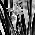 Picture Title - Daffodils