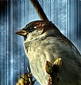 Picture Title - House Sparrow