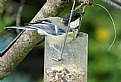 Picture Title - Great Tit