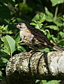 Picture Title - Dunnock