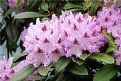 Picture Title - Lavender Rhododendrons