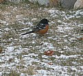 Picture Title - Towhee
