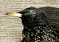 Picture Title - Starling Beak