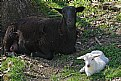 Picture Title - white sheep in the family