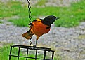 Picture Title - on the lookout-Bal'more Oriole