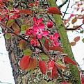 Picture Title - wild apple blossom