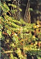Picture Title - spider web on spruce