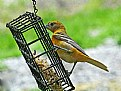 Picture Title - Mrs Oriole