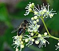Picture Title - Wild bee onn flower