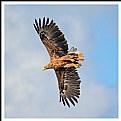 Picture Title - **Sea Eagle  II**
