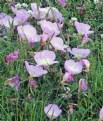 Picture Title - Pink Prairie Primroses