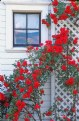 Picture Title - Carriage House Roses