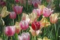 Picture Title - Tulips