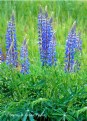 Picture Title - Blue Lupine
