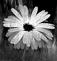 Picture Title - B+W flower