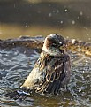 Picture Title - Summer Sparrow