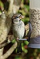 Picture Title - Sparrow Feeder