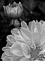 Picture Title - Dahlia