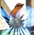 Picture Title - European Robin