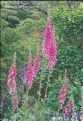 Picture Title - Foxgloves