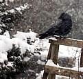 Picture Title - Corvus In Snow