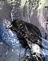 Picture Title - Snow Corvus