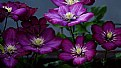 Picture Title - Clematis