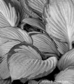 Picture Title - Hosta Leaves