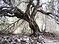 Picture Title - olive tree