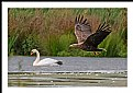 Picture Title - **Sea Eagle   R.**