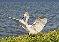 Picture Title - Egret from Tampa Bay