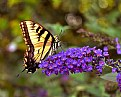 Picture Title - butterfly on the butterfly bush