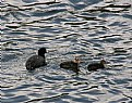 Picture Title - COOTS