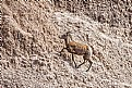 Picture Title - BIGHORN SHEEP