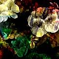 Picture Title - Geraniums