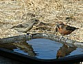 Picture Title - CROSSBILLS