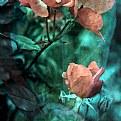 Picture Title - Rose Flowers