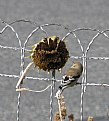 Picture Title - GOLDFINCH