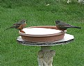 Picture Title - ROBINS