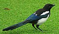 Picture Title - Magpie