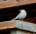 Picture Title - HOUSE WREN