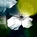 Picture Title - Welsh Poppy