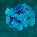 Picture Title - Flowers In Blue