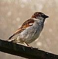 Picture Title - Sparrow